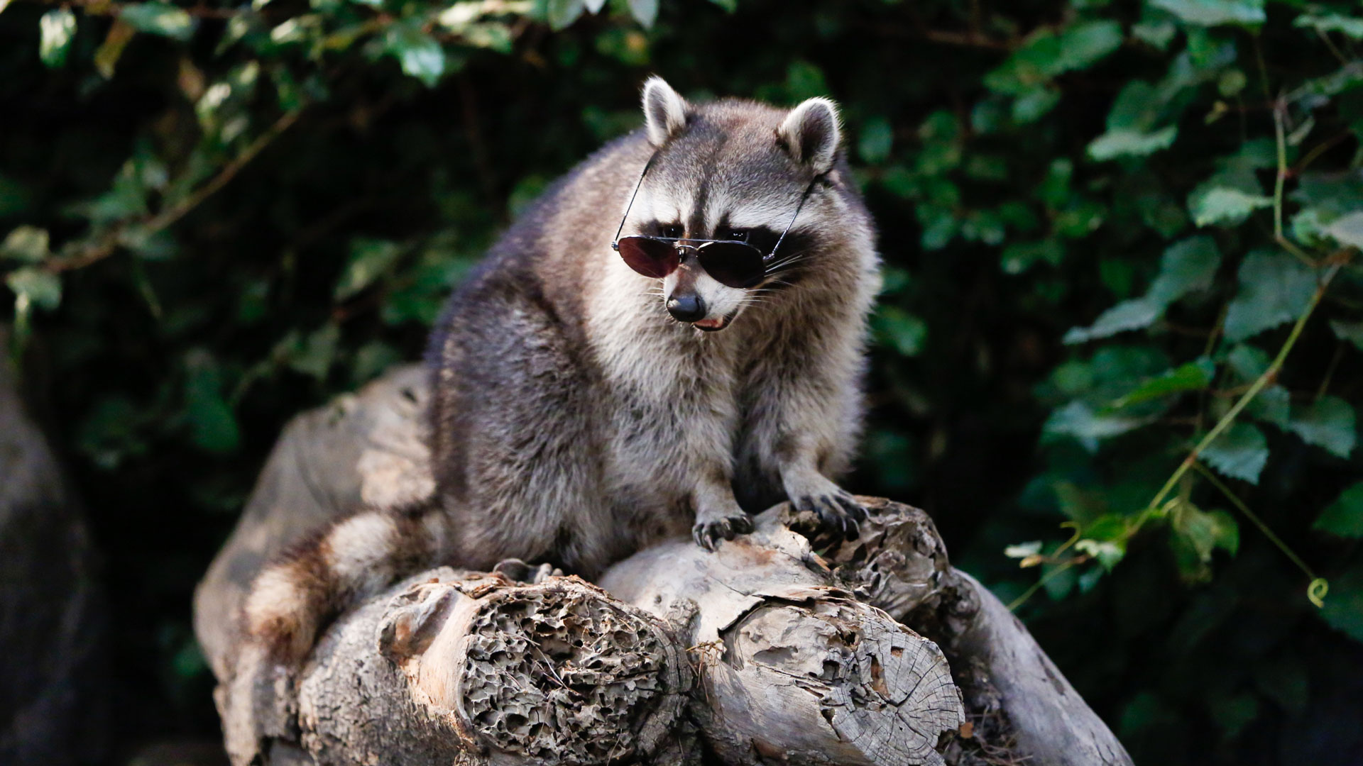 Who's got a camera, because the world needs to see a raccoon wearing sunglasses!