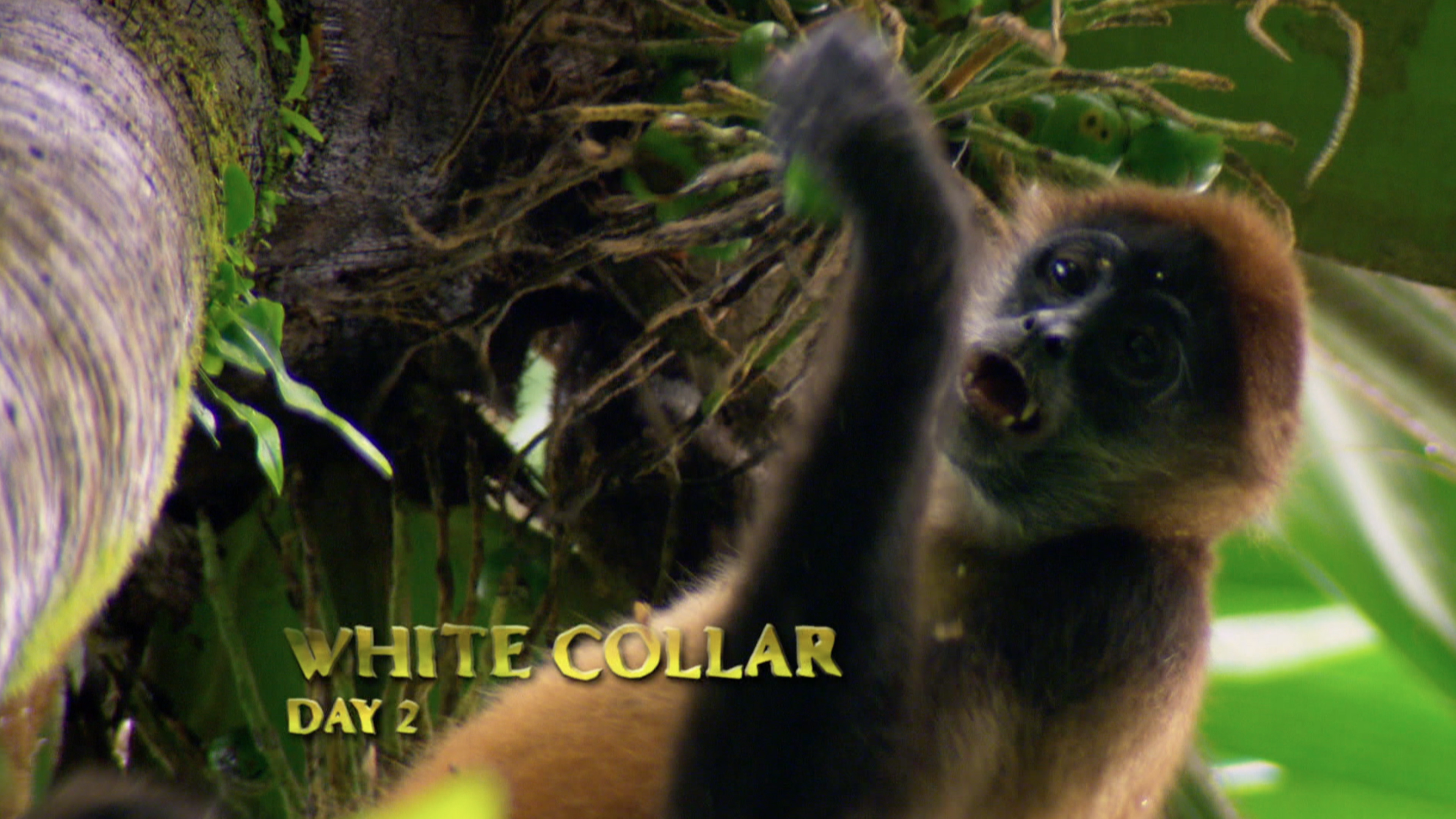 Central American Spider Monkey (Ateles geoffroyi)