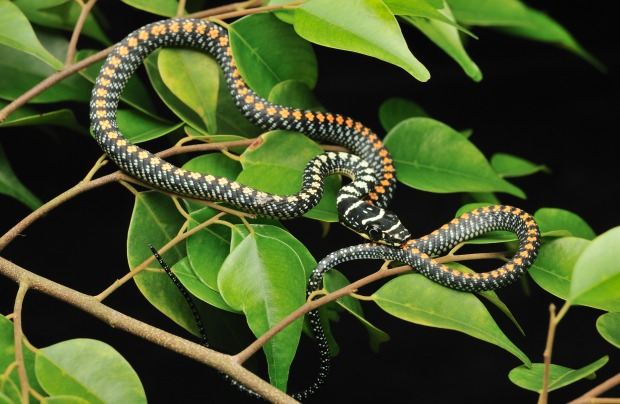 Flying snakes can glide distances of up to 330 feet and turn midair.