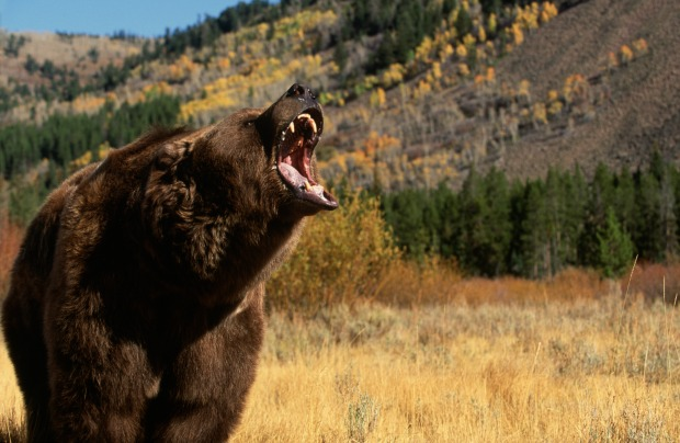 Grizzly bears run fast enough to get a ticket in a school zone.