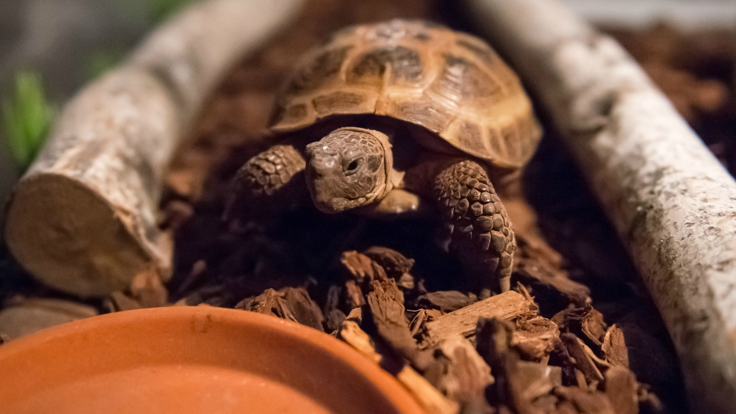 Fact #1: Clyde is a Horsfield's tortoise (a.k.a. a Russian or Central Asian tortoise).