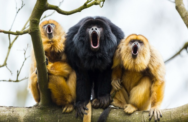 Howler monkeys can be heard three miles away.