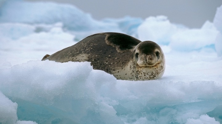 5. Leopard Seal