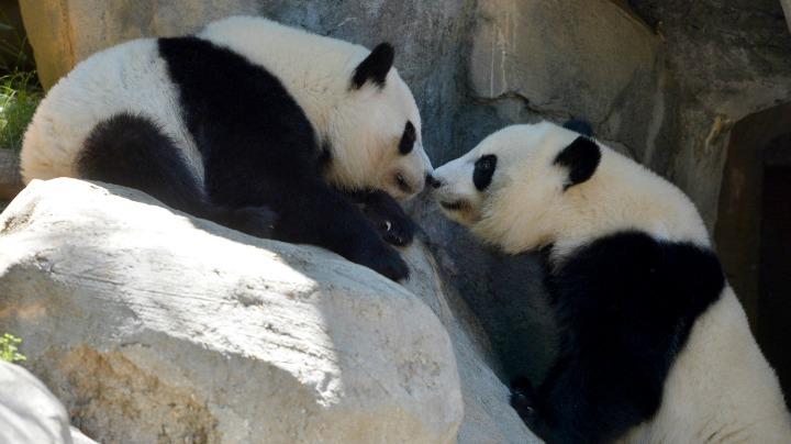 2. Giant Panda