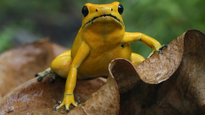6.Golden Poison Dart Frog
