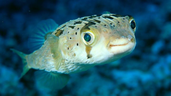 7.Pufferfish