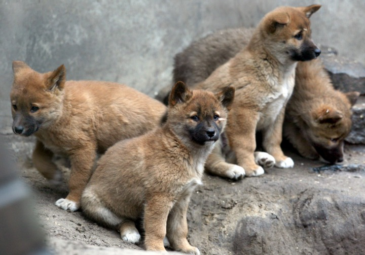9. Dingo
