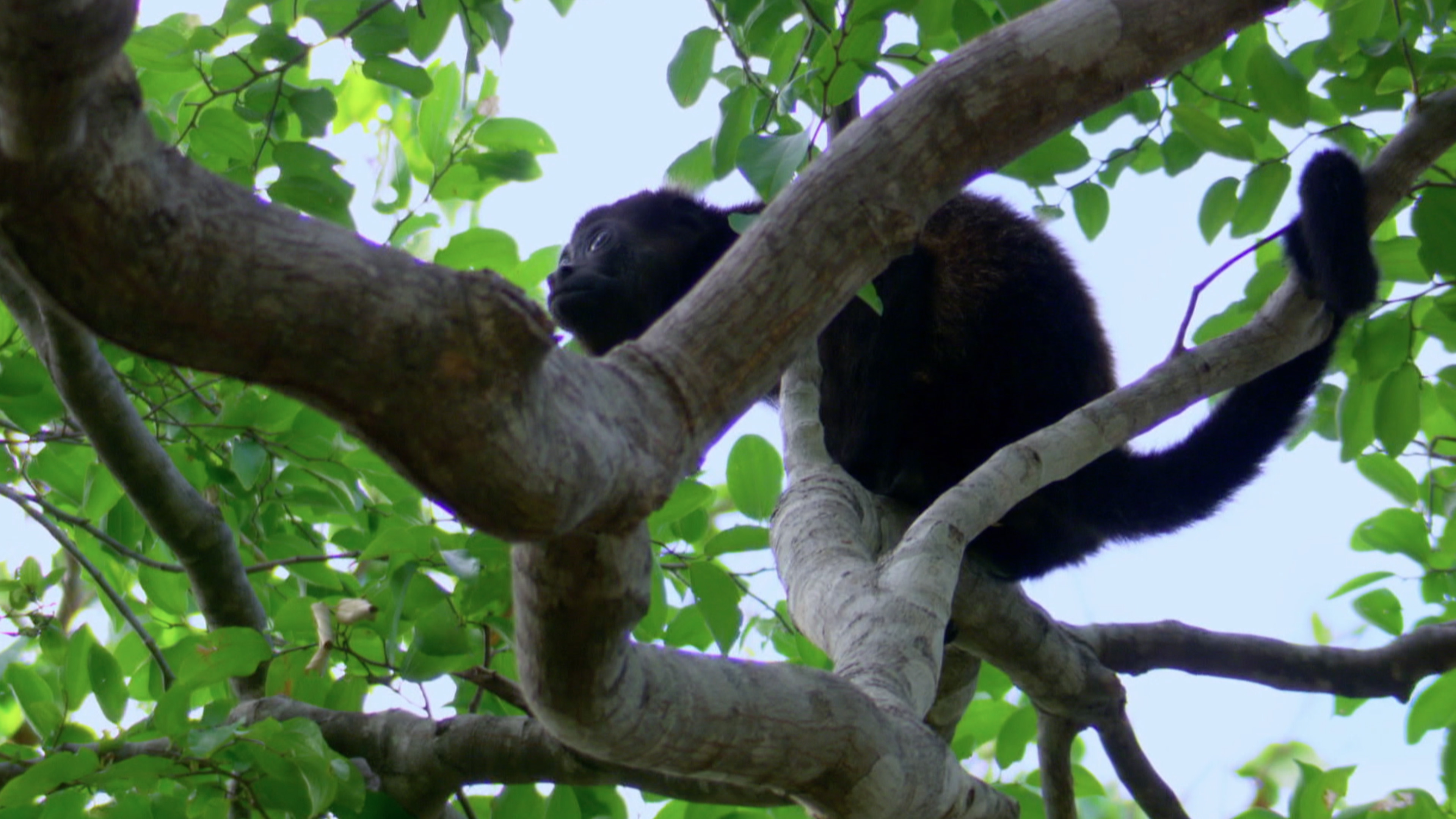 Mantled Howler (Alouatta palliata)
