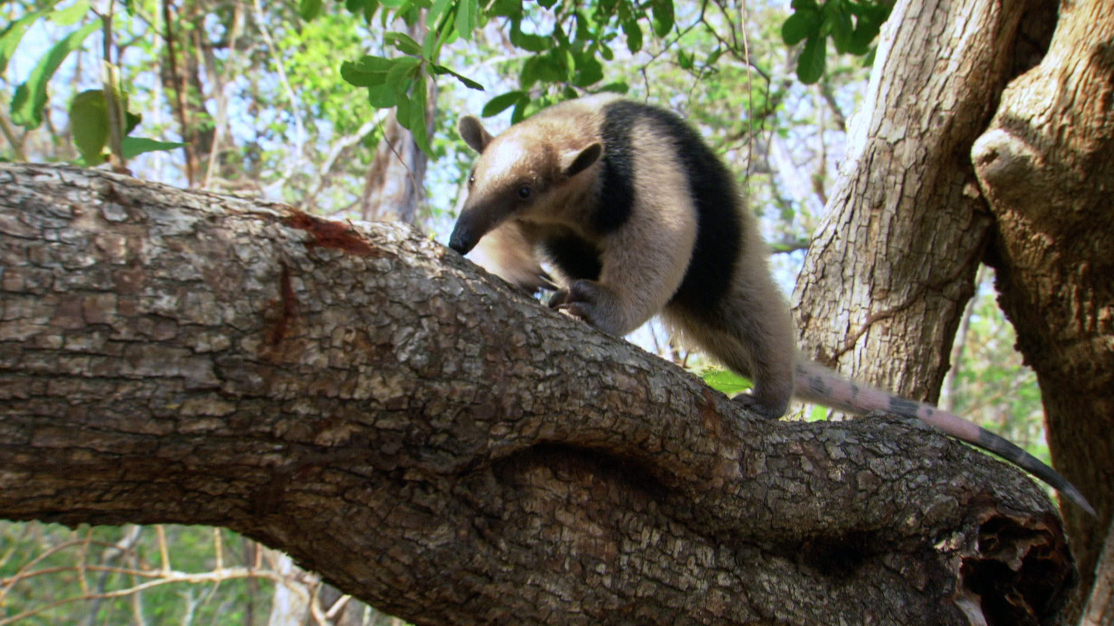Northern Tamandua (Tamandua mexicana)