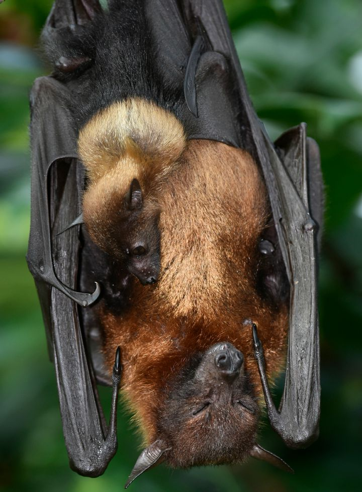 6. Bats are the slowest reproducing mammals on earth.