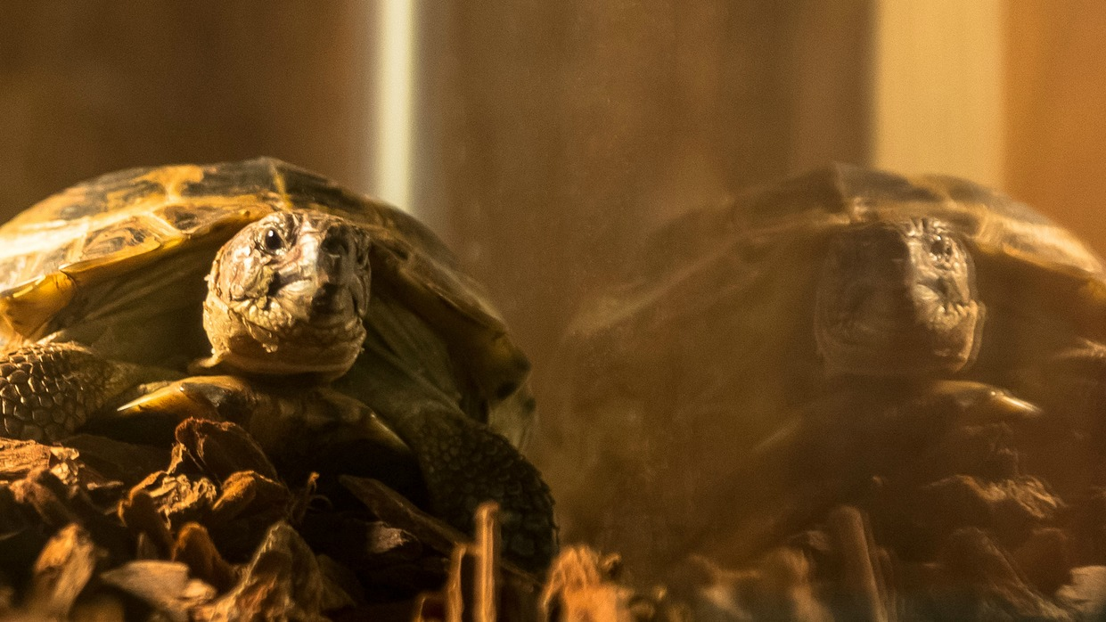 Fact #9: Clyde is actually played by two different tortoises.