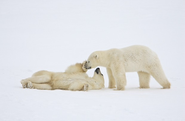 Polar bears give off no detectable heat.