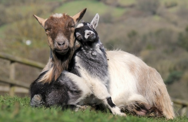 Goats have accents.