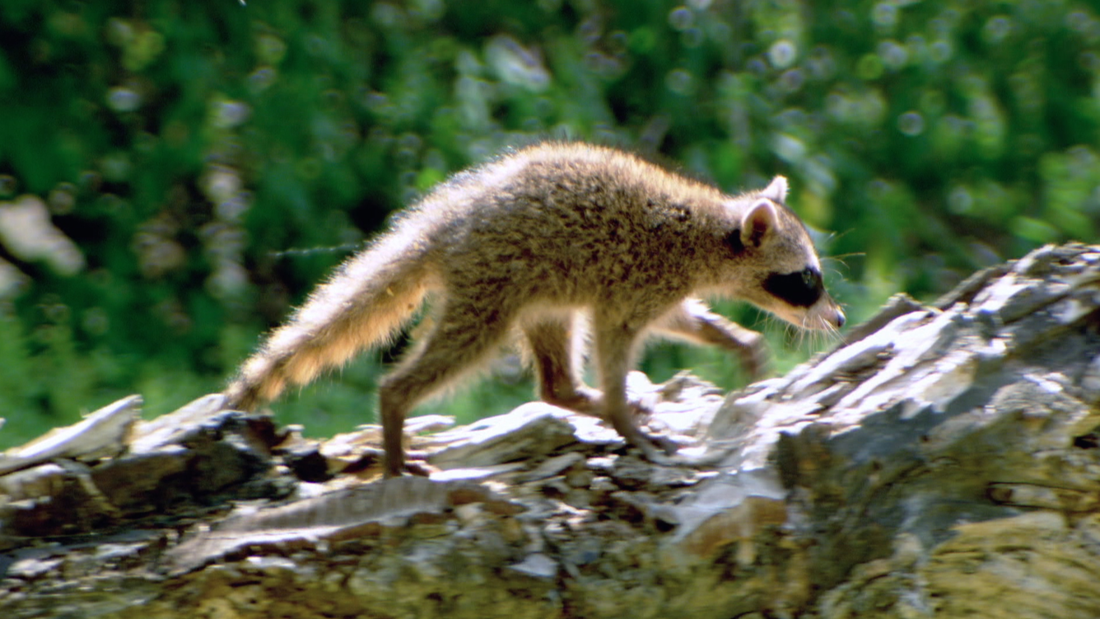 Raccoon (Procyan cancrivorus)