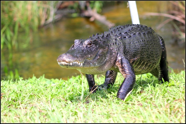 5. Once upon a time, there were gator nests in Charleston.