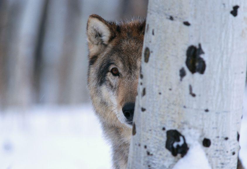 Wrathful Wolves