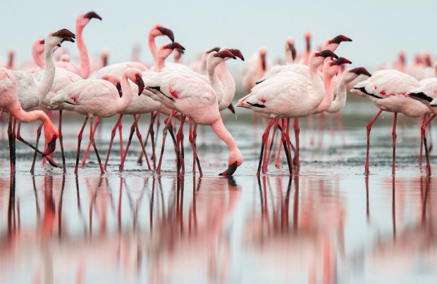 Flamingos can only eat upside-down.