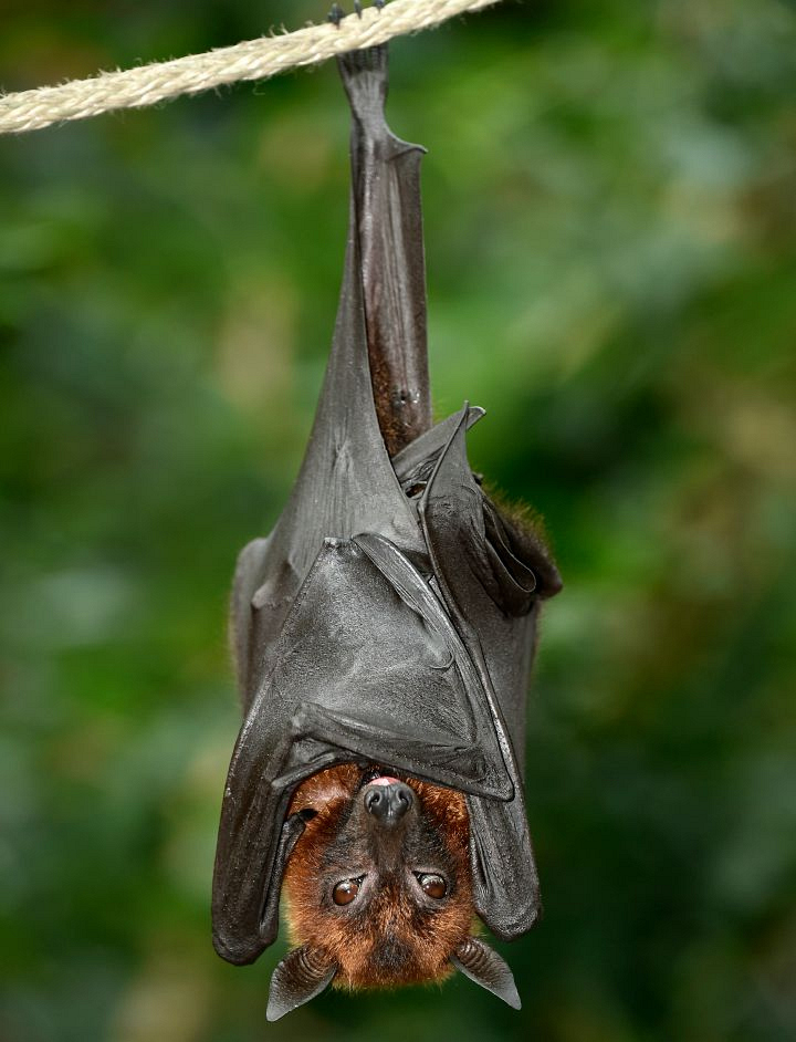 10. Bats sleep easy by sleeping strangely.