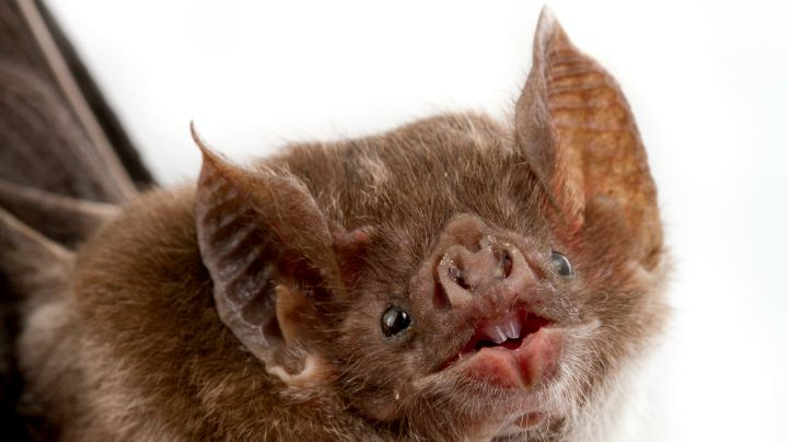 7. Vampire bats are the only bats that move well on the ground.