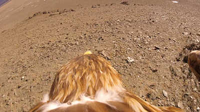 60 Minutes Overtime: Getting a bird's-eye view of hunting eagles