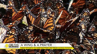 Mission to restore butterflies' natural habitats